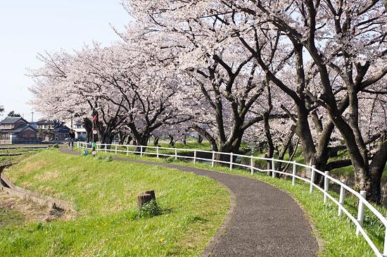 桜便り16-5