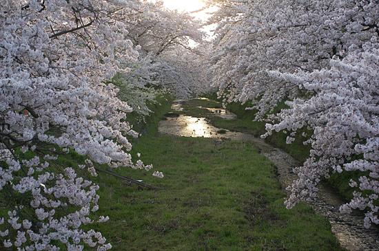 桜便り16-7