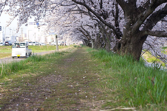 桜便り16-9