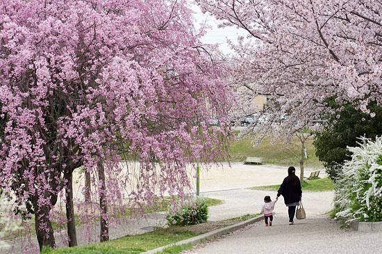 桜便り17-10