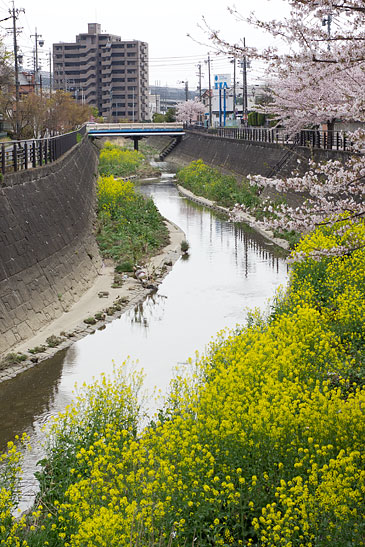 桜便り17-3