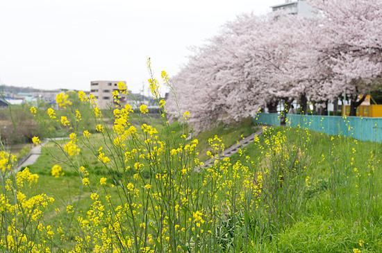 桜便り17-5