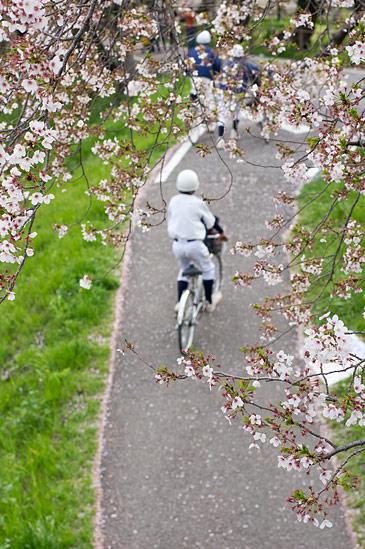 桜便り19-11
