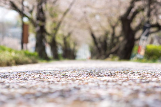 桜便り21-10