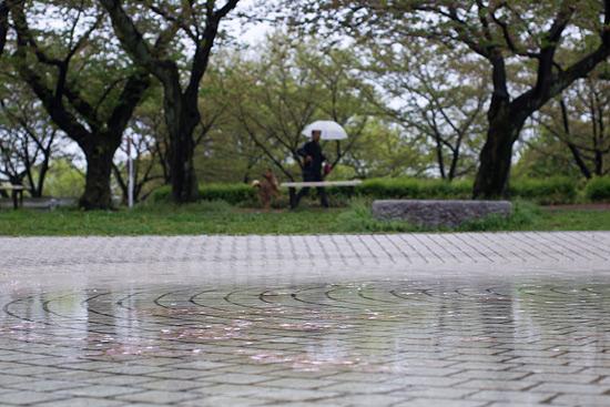 桜便り21-13