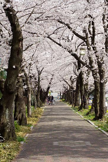 桜便り21-2