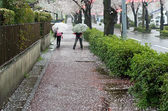 桜便り21-4