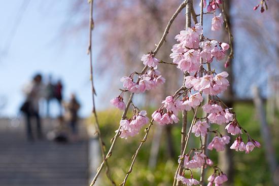 桜便り2-4