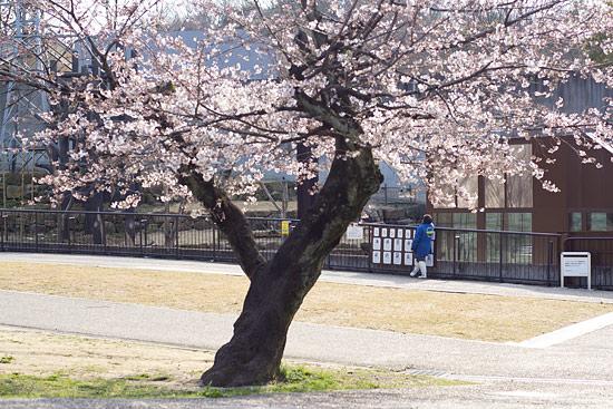 桜便り2-6