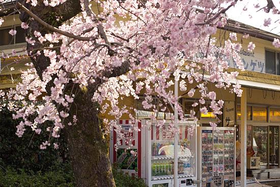 桜便り2-7
