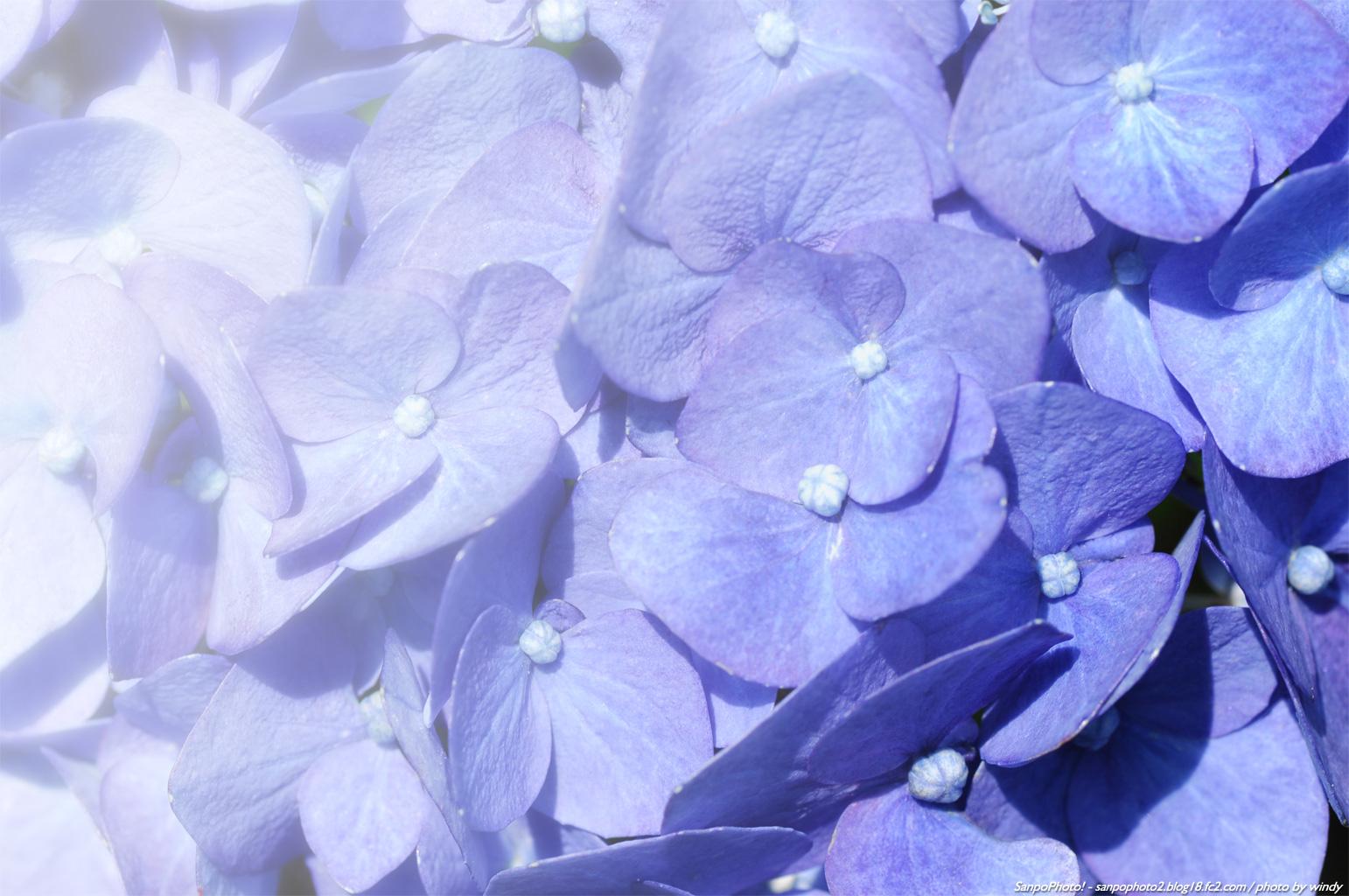 1542x1024 梅雨 の あじさい が 美しい壁紙 紫陽花 壁紙