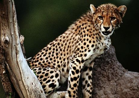 090109-cheetah-ovulation_big.jpg