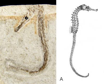 090504-01-seahorse-fossil_big_convert_20090510124407.jpg